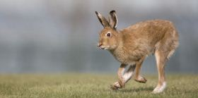 Irish hare by Andrew Kelly