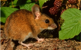 Wood mouse by John Robinson